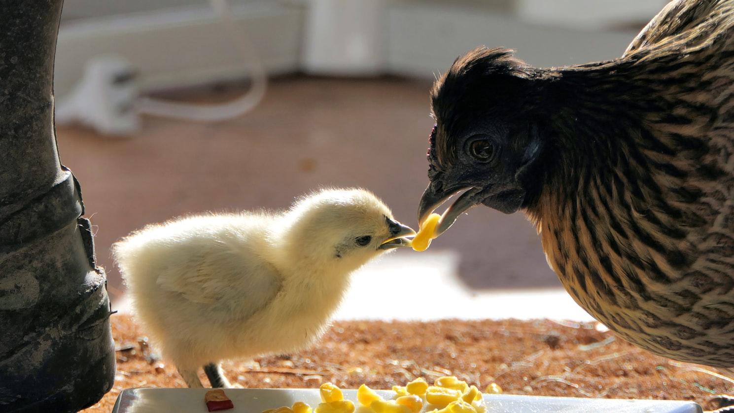 Une poule nourrissant son poussin