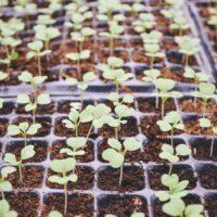 Une culture de plantes pour reboisement