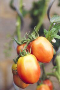 Des tomates mures à point.