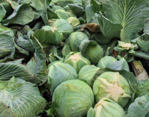 Un champ de choucroute.