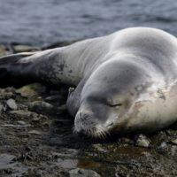 Un phoque, animal emblématique des régions polaires comme l'Antarctique.
