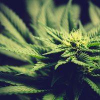 Des plantes de cannabis.